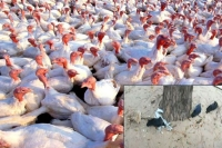Bird flu spreads in maharashtra nine states impacted across india so far